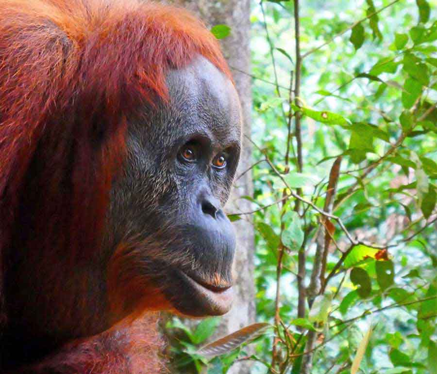 Orangutan Tour - An Extraordinary 2 day hike in the stunning Sumatran Rainforest 2
