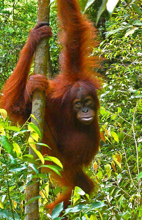 Orangutan Tour - An Extraordinary 2 day hike in the stunning Sumatran Rainforest 6