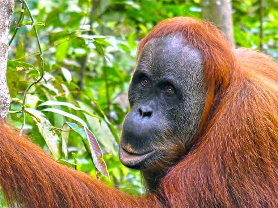 Orangutan Tour - An Extraordinary 2 day hike in the stunning Sumatran Rainforest 9