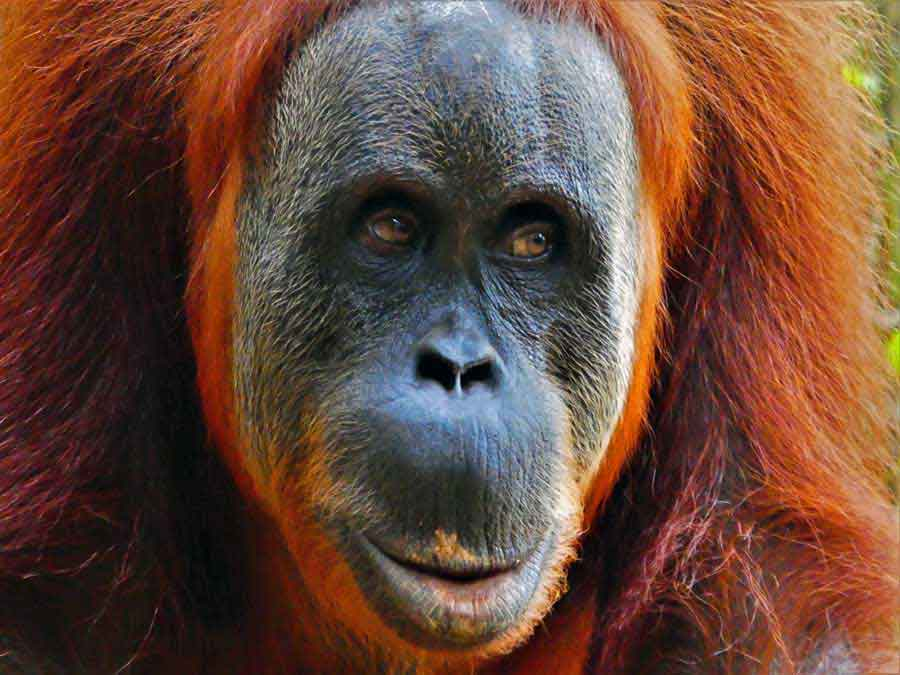 Orangutan Tour - An Extraordinary 2 day hike in the stunning Sumatran Rainforest 10