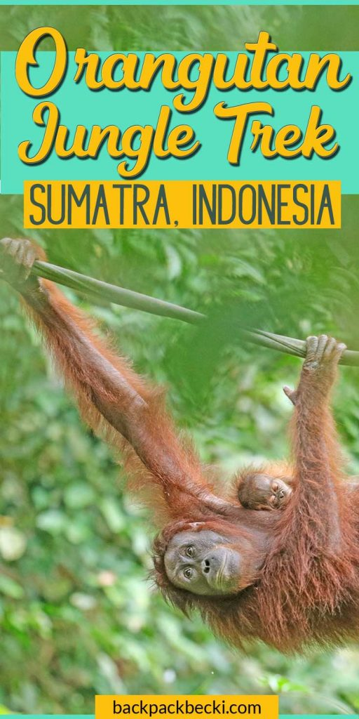 Orangutang Trekking in Indonesia - witnes firsthand the plight of 'Rang-Tan' | Orangutan Jungle Trek on Sumatra Island in Indonesia | Best Wildlife Encounters | Bucketlist Things To Do | Save the Orangutans #OrangutanTrek #JungleTrekIndonesia #IndonesiaOrangutans #SaveTheORangutans #SaveRangTang #DitchPalmOil #JungleTrekkingInIndonesia #OrangutanJungleTrekInSumatra #EndangeredSpecies #BackpackingIndonesia #BackpackingSumatra #VisitIndonesia #BackpackBecki