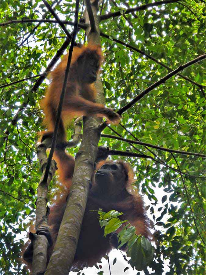 Orangutan Tour - An Extraordinary 2 day hike in the stunning Sumatran Rainforest 5