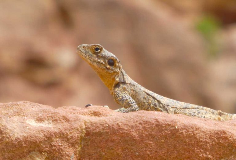 Lizard-in-the-ruins-at-Petra